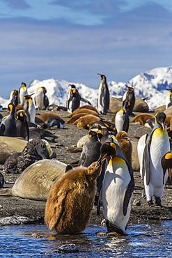 King penguin (Aptenodytes patagonicus) adult feeding chick, Gold Harbour, South Georgia Island, South Atlantic Ocean, Polar Regions