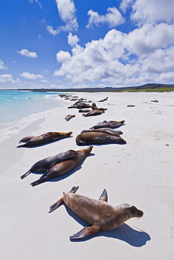 Galapagos sea lions (Zalophus wollebaeki), Gardner beach, Santiago Island, Galapagos Islands, UNESCO World Heritage Site, Ecuador, South America