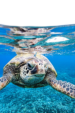 Green sea turtle (Chelonia mydas) underwater, Maui, Hawaii, United States of America, Pacific