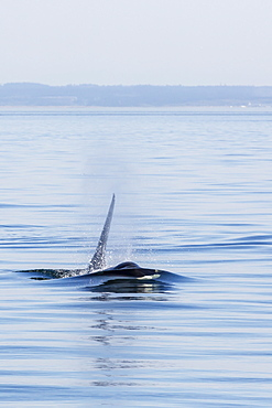 Resident killer whale bull, Orcinus orca, Cattle Pass, San Juan Island, Washington, United States of America, North America