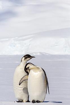 Recently fledged emperor penguins (Aptenodytes forsteri), Enterprise Islands, Antarctica, Southern Ocean, Polar Regions