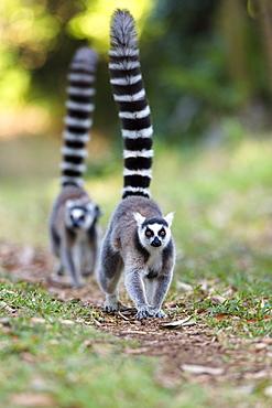 Ringtailed Lemurs walking, Lemur catta, Nahampoana Reserve, South Madagascar, Africa