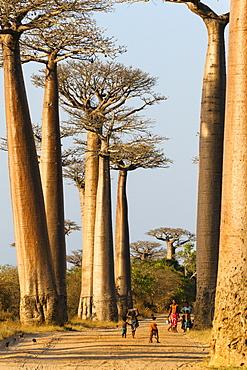 Baobabs near Morondava, Adansonia grandidieri, Morondava, Madagascar, Africa