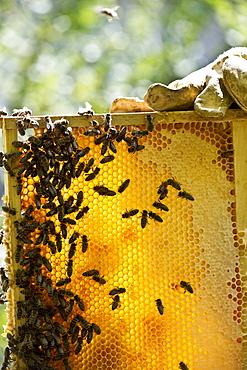 Beekeeper holding honeycombs with bees, Freiburg im Breisgau, Black Forest, Baden-Wuerttemberg, Germany