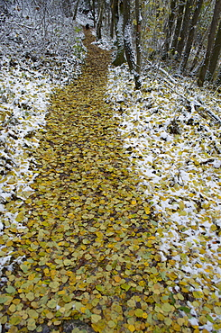 Forest path covered with autumn leaves at Grosser Pfahl and early snow near Viechtach, Bavarian Forest, Bavaria, Germany