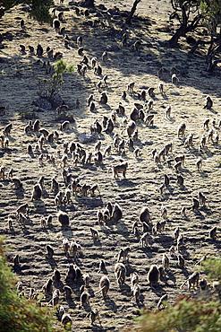 Group of geladas, Simien Mountains National Park, Amhara region, Ethiopia