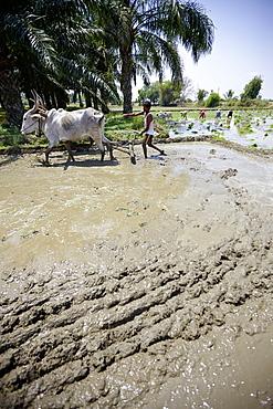 Ox plow on flooded rice field, Somanathapura, Karnataka, India