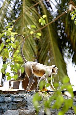 Gray langur, Hampi, Karnataka, Indien