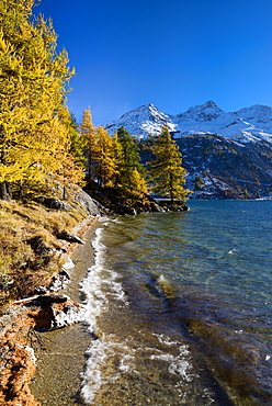 Golden larches along the shore of Lake Sils with Piz da la Margna (3159 m), Engadin, Grisons, Switzerland