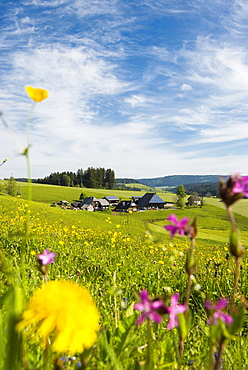 Traditional farm house and flower meadow, Guetenbach, near Furtwangen, Black Forest, Baden-Wuerttemberg, Germany