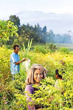 Farmers picking chilies, Sidemen, Bali, Indonesia