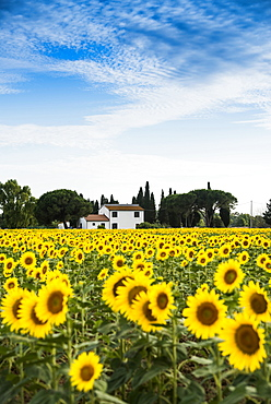 field of sunflowers, near Piombino, province of Livorno, Tuscany, Italy