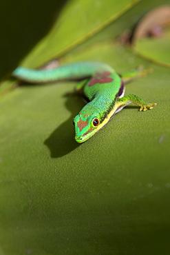 Lined Day Gecko, Phelsuma lineata bifasciata, Canal de Pangalanes, East Madagascar, Africa