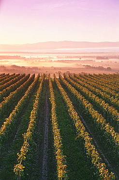 Vineyard in sunrise near Ihringen, Baden-Wurttemberg, Germany