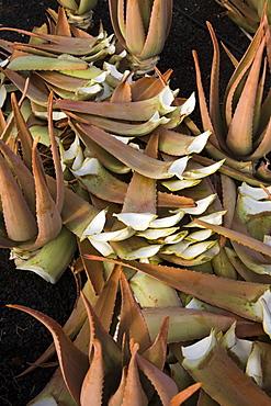 Cut down Aloe vera on a field, Valles de Ortega, Fuerteventura, Canary Islands, Spain, Europe