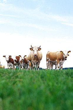Herd of cows looking at camera, Mecklenburg-Western Pomerania, Germany