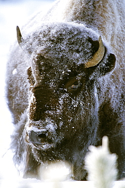 Bison covered with whitefrost, Yellowstone National Park, Wyoming, USA