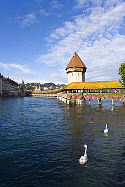 Swans in the Reuss river with chapel bridge, the oldest covered bridge in Europe and water tower, Lucerne, Canton Lucerne, Switzerland