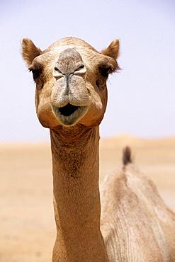 Dromedary, Desert, Dubai, UAE - 1113-103885