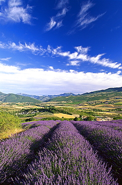 Lavender fields in a valley under clouded sky, Drome, Provence, France, Europe