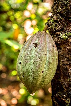 Cocoa fruit on tree, Malekula, Vanuatu, South Pacific, Oceania