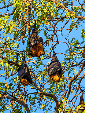 Flying foxes in tamarind tree, Pteropus rufus, Berenty Reserve, Southern Madagascar, Africa