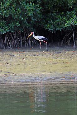 Gambia; Western Region; at Bintang Bolong; Stork strides along the bank;