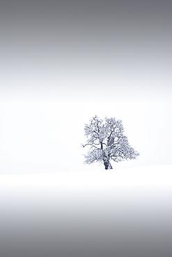Lonely tree in winter, Ennstal, Upper Austria, Austria.