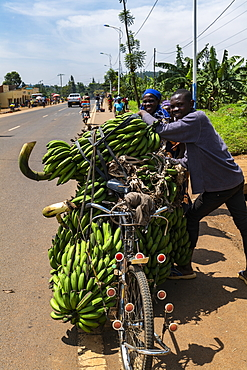 People smile as they transport heavy banana trees on bicycles, near Kagano, Western Province, Rwanda, Africa