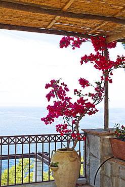 Bougainville on a terras overlooking the sea in Capri, Italy