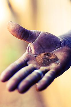 Tobacco seeds in farmer's hand palm in Pinar del Rio, Cuba