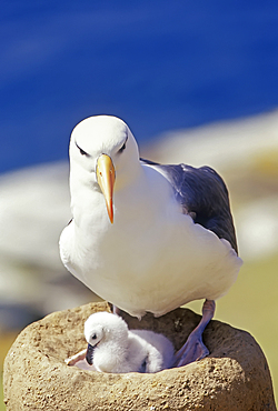 A black-browned albatross (Thalassarche melanophris) with its chick, Saunders Island, Falkland Islands, South America