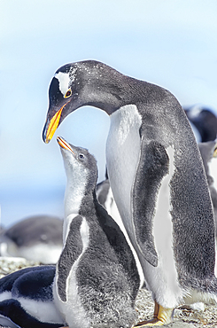 An adult Gentoo Penguin (Pygocelis papua papua) interacting with its chick, Falkland Islands, South Atlantic, South America