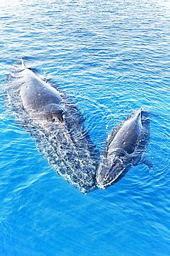 Humpback Whales, Mother and Calf (Megaptera novaeangliae), Hervey Bay, Queensland, Australia
