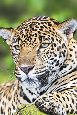 Adult male Jaguar (Panthera onca), close-up, Costa Rica