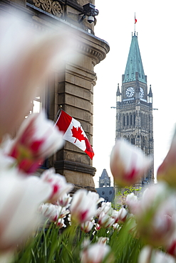 Tower of Parliament Buildings seen through tulips with Canadian national flag on building, Ottawa, Ontario, Canada, North America