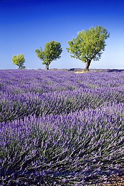 Almond trees in lavender field, Plateau de Valensole, Alpes de Haute Provence, Provence, France, Europe