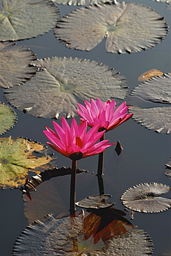 Water lily in Sukothai Historical Park, Central Thailand, Asia