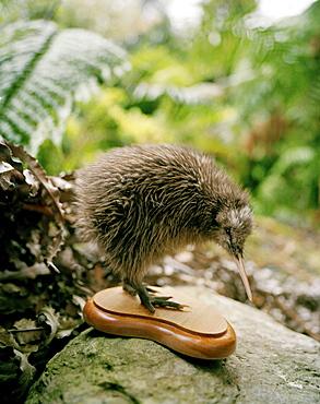 Stuffed Okarito Kiwi chick on a stone, Westland National Park, west coast, South Island, New Zealand