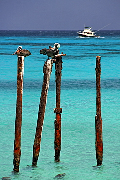 West Indies, Aruba, Pelicans sitting on stakes, Eagle beach