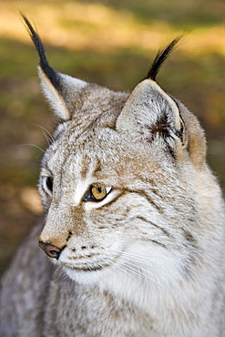 Lynx, Felis lynx, Germany, Bavaria