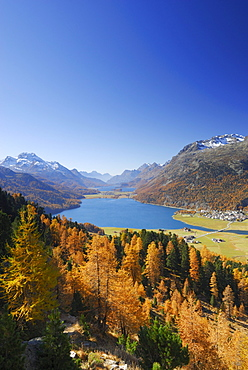 Larches in autumn colours above lake Silvaplaner See and lake Silser See with Piz da la Margna, Oberengadin, Engadin, Grisons, Switzerland