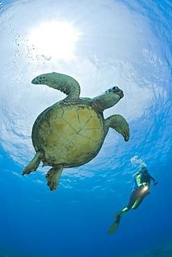 Green Turtle and Diver, Chelonia mydas, Maui, Hawaii, USA