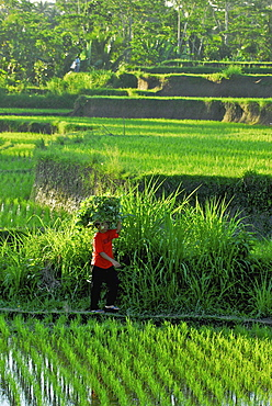 Woman carrying load on her head over rice fields, Bangli district, Bali, Indonesia, Asia