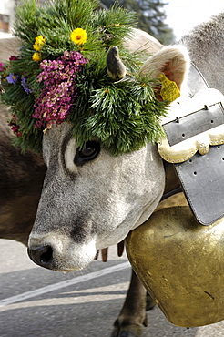 Cow with bell and flower decorations, returning to the valley from the alpine pastures, Seiser Alm, South Tyrol, Italy