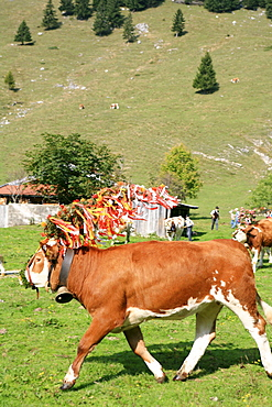 Cow at Almabtrieb, cattle drive from mountain pasture, Arzmoos, Sudelfeld, Bavaria, Germany