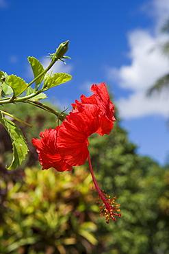 Red Hibiscus Flower, Nuku'alofa, Tongatapu, Tonga, South Pacific, Oceania