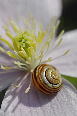 Close up of a pale pink Clematis montana with small snail and stamina