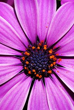 Close up of violet Osteospermum