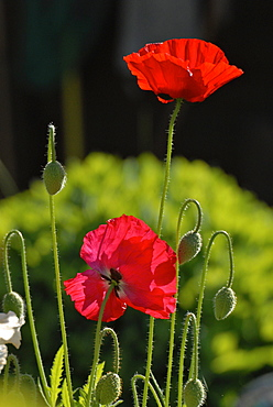 Red poppies in the garden, Germany, Europe